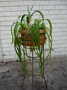 False Sea Onion plant  (indoor/outdoor) Alexander Heights Wanneroo Area Preview