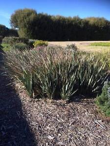 Giveaway native plants, Fejoa Pineapple guarva Penfield Playford Area Preview