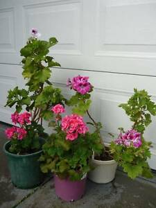Assorted Geraniums. ($10-$15) Alexander Heights Wanneroo Area Preview
