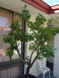 """ADVANCED APRICOT TREE - """"Moorpark"""" (in pot) Alexander Heights Wanneroo Area Preview"""