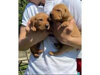 Stunning Vizslador puppies 4 boys and 4 girls