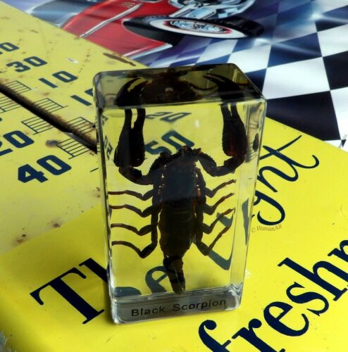 Real Insect Paperweight - Black Scorpion