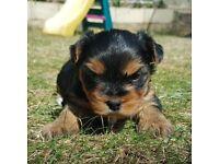 Female Yorkshire Terrier for Sale