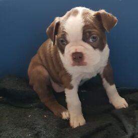 Boston terrier pups. Kc reg. Red/white & mahogany/white