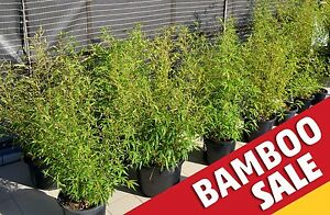 BAMBOO SALE!!! Potted Plants, Different Sizes & Varieties (500mm) Turramurra Ku-ring-gai Area Preview