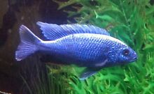 Cichlids, Electric blues ,Electric yellows, Dragon blood peacock Maroubra Eastern Suburbs Preview