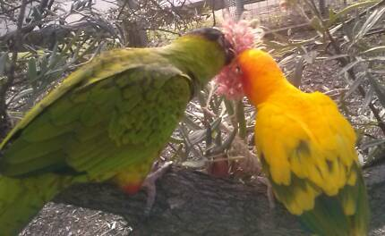 Handraised Nanday Conure for sale Laidley Lockyer Valley Preview