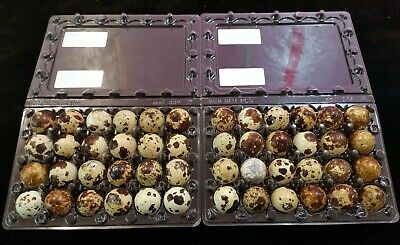 45 Plus 5 Extras Jumbo Coturnix Quail Fresh Hatching Eggs Fertile Npip Certified