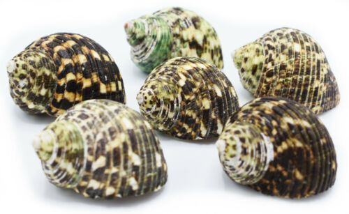 """Hermit Crab Shell Set - 6 Large Turbo Changing Shells Size 2-2 1/2"""" (op. 1-1.5"""")"""