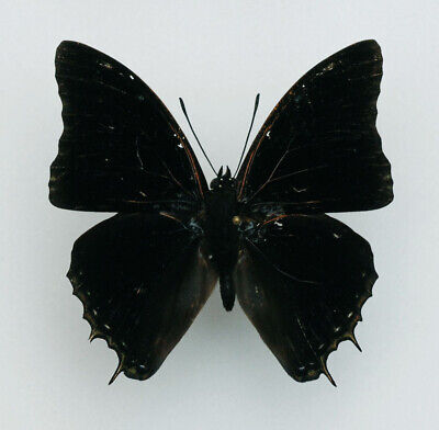 Usado, Nymphalidae - Charaxes viola - Savanna demon charaxes - male segunda mano  Embacar hacia Argentina