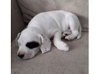 Gourgous 8 week old mixed breed. Springer/staffy