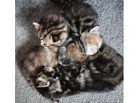 Adorable Ragdoll Cross Kittens