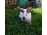 Baby Californian rabbit