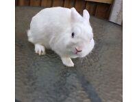 Netherlands dwarf rabbit Snowy