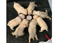 FAWN PUG PUPPIES 🐶 KC REGISTERED