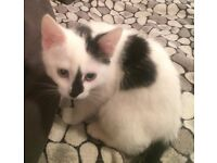 3 months old kitten (girl) for sale