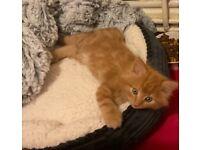 Macoon ginger kitten
