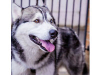 Gorgeous Bi-Eyed husky dog for sale