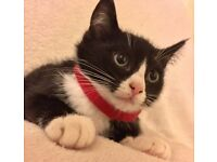 Ragdoll/Tuxedo Cross Kittens (13 Weeks)