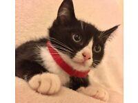 Ragdoll/Tuxedo Cross Kittens (10 Weeks Old)