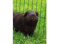 Pedigree Guinea Pig + Brand New Cage.