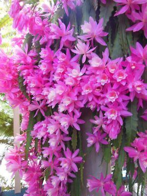 - Rare orchid cactus German Empress Epiphyllum rooted live plants & cutting +Bonus