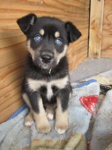 Looking for Rottweiler x husky
