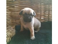 3/4 Pug Puppies *Last boy Left*
