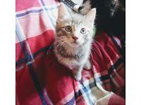 1 silver tabby male kitten left, ready now