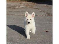 Health Tested German Shepherd Puppies