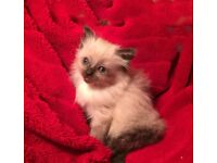 Pedigree Ragdoll Kitten for Sale - 3 males & 1 female