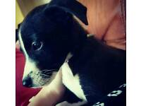 Black and white male Whippet puppy
