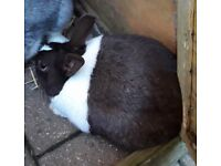 a pair of Dutch rabbits male and female