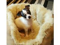 Chihuahua puppies full pedigree