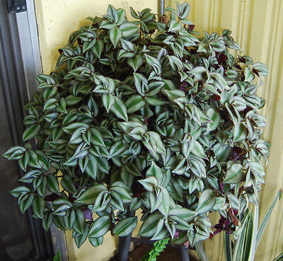 Violet Hill Tradescantia Zebrina - Trailing Wandering Jew Houseplant - Easy Care (Easy Care House Plants)