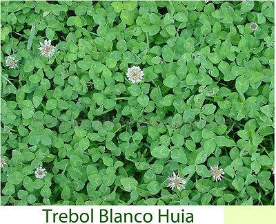 Trebol Blanco Enano (5 g / 10.000 semillas) Abono Verde Trébol Trifolium...