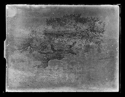 82c❚ ORIGINAL Glasnegativ ca.1930, Baum , Schwarzkiefer in Österreich