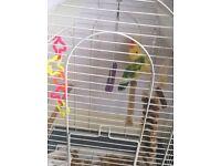 2x friendly Love Birds for sale - £50