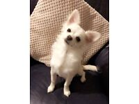 5 month old Casper for sale