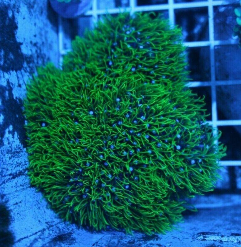 "WYSIWYG Bright Green Star Polyps on 3.5""x3.5"" Fiji Rock FREE SHIPLive Coral"