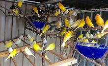 Canaries wholesale $ 12 Rowville Knox Area Preview