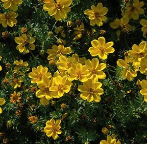 Bidens aurea Sunshine - 100 seeds Annual Hanging basket variety