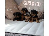 4 miniature Yorkshire terrier pups