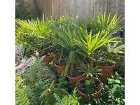 Hardy Healthy Trachycarpus Fortunei Palms. £50 each