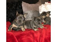 Beautiful 3/4 french bulldog blue and tan blue staff males females