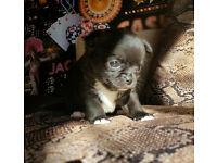 KC reg.Tini-mini chihuahua boy for sale
