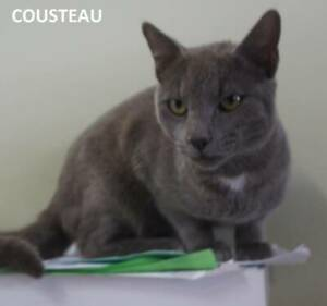 russian blue | Cats & Kittens | Gumtree Australia Free Local