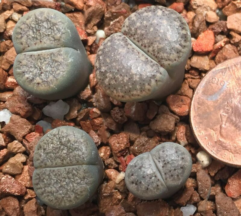 Mesembs Plant--Lithops verruculosa Uitspan--ONE Seedling from Pot!