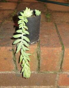 Donkey Tail Plant Eastwood Ryde Area Preview