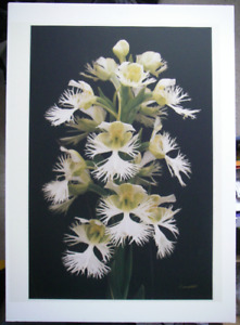 Fine Art Print Prairie Wildflower Western Can Fringed Orchid 16""